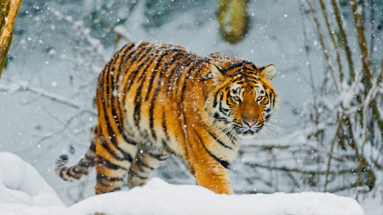 Wallpaper White Tiger Bengal Tiger Siberian Tiger Snow Tiger Background Download Free Image